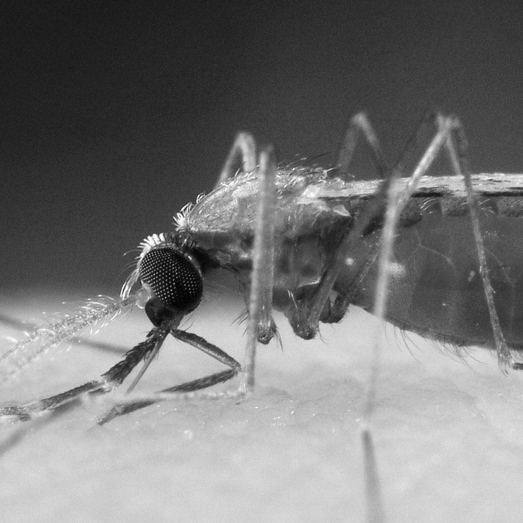Mosquito que transmite la malaria.
